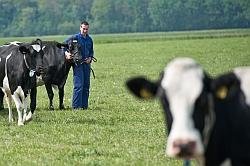 Koeien en boer