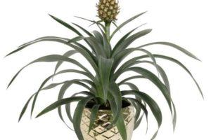 Asda verkoopt plant tegen snurken